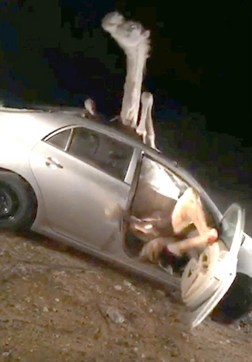 Lạc đà lọt thỏm trong chiếc Toyota Corolla